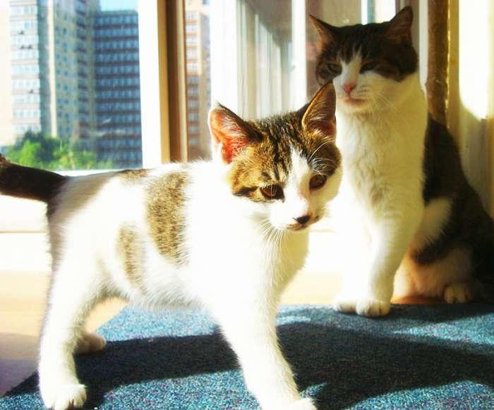 从来不担心新来的小猫会被家里的大猫欺负。猫儿们都是尊老爱幼的,可懂礼数了。这是个不认生的小不点儿。简单的清洁、上驱虫药、点眼药后,拿出幼猫饼干和清水,小不点儿开始吃喝起来。所有的大猫都凑过来看热闹,表示欢迎。虽然眼睛发炎,但整体情况看上去还好。吃好喝好便开始到处走到处看,是个好奇心很重的小家伙儿。胖淘儿和白珍珠对他最感兴趣,不停地跟着他,闻他、舔他。 等洗完澡一看:好可爱的小家伙儿!用浴巾裹好递给奶奶,奶奶把他抱在怀里坐在沙发上看电视。等猫毛干透了,小家伙钻出浴巾,径直往奶奶身上爬去,爬过胸口,一直爬到左